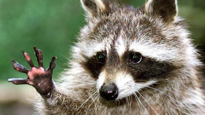 Вредоносная программа Raccoon заразила более 100 тыс. устройств